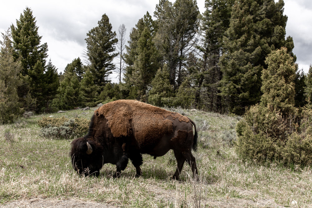 Yellowstone national park Montana Bison