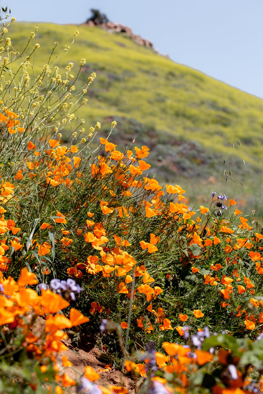 "super bloom-62.jpgCalifornia Day-trip: Lake Elsinore Poppy ""Super Bloom"""